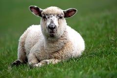 детеныши овец Стоковое Изображение