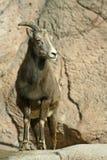 детеныши овец bighorn Стоковые Фото