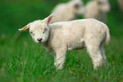 детеныши овечки Стоковые Фото