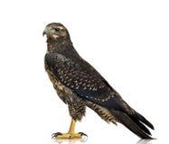 детеныши орла черного buzzard chested стоковые изображения
