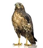 детеныши орла черного buzzard chested стоковая фотография