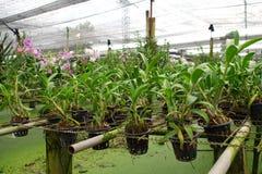 детеныши орхидеи фермы Стоковое Фото