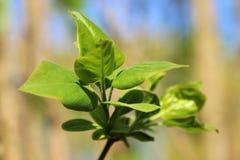 Детеныши отпочковываясь свежие зеленые листья сирени на яркий солнечный день приходя весна Стоковое Изображение