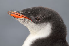 детеныши пингвина gentoo Антарктики Стоковые Изображения RF