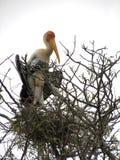 Детеныши покрасили птицу аиста в гнезде на дереве Стоковые Изображения