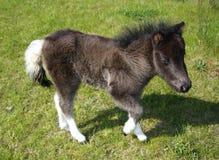 детеныши пониа лошади Стоковые Фотографии RF