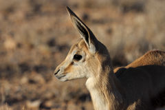 детеныши прыгуна kalahari пустыни Стоковые Изображения
