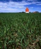детеныши пшеницы зеленого цвета зерна поля лифта Стоковые Изображения RF