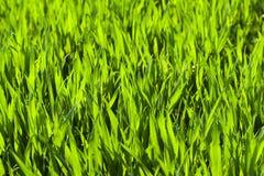 детеныши пшеницы поля Стоковая Фотография RF
