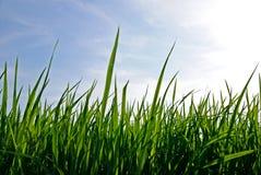 детеныши риса утра поля Стоковая Фотография RF