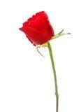 детеныши розы красного цвета стоковая фотография rf