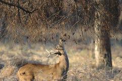 детеныши самеца оленя Стоковая Фотография RF