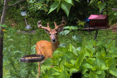 детеныши самеца оленя Стоковое фото RF