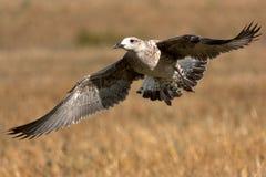 детеныши сельдей чайки Стоковое Изображение RF
