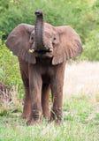 детеныши слона быка стоковые изображения rf