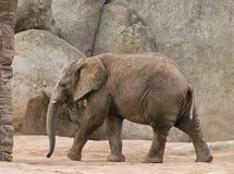 детеныши слона гуляя Стоковое Изображение RF