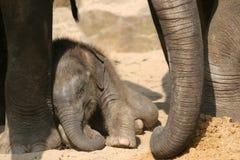 детеныши слона Стоковая Фотография