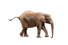 детеныши слона Стоковое Изображение RF