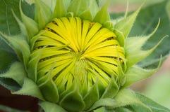 детеныши солнцецвета Стоковая Фотография RF