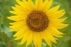 Детеныши солнцецвета цветка Стоковое Изображение RF