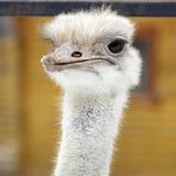 детеныши страуса Стоковое Изображение RF