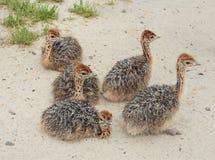 детеныши страуса Стоковое Изображение