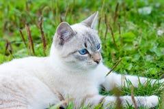 детеныши травы крупного плана кота balinese напольные стоковая фотография rf