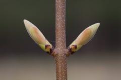 детеныши явора листьев бутонов Стоковая Фотография RF