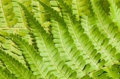 детеныши яркого папоротника свежие зеленые Стоковые Изображения RF