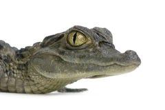 детеныши caiman spectacled Стоковые Фотографии RF
