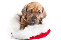 детеныши doggy christmass счастливые стоковое изображение rf