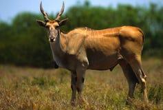 детеныши eland быка Стоковая Фотография RF