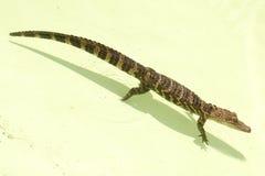детеныши gator Стоковое фото RF