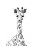 детеныши giraffe Стоковое Фото