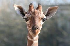 детеныши giraffe Стоковые Изображения