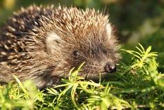 детеныши hedgehog дня солнечные Стоковое Изображение