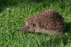 детеныши hedgehog Стоковые Фотографии RF
