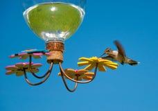 детеныши hummingbird фидера Стоковое Изображение RF