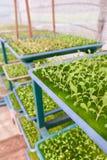 детеныши hydroponics vegetable Стоковая Фотография