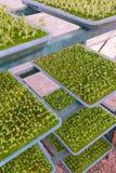 детеныши hydroponics vegetable Стоковые Изображения RF