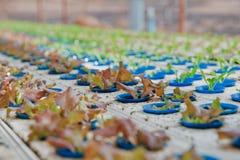 детеныши hydroponics vegetable Стоковые Фото