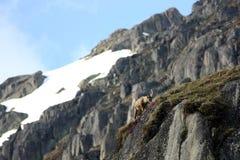 детеныши ibex capra Стоковые Изображения RF