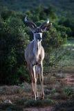 детеныши kudu мыжские Стоковое Изображение