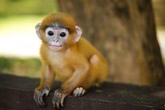 детеныши langur обезьяны сидя Стоковые Изображения