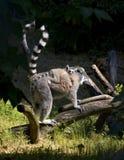 детеныши lemur Стоковое Фото