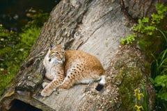 детеныши lynx Стоковое Изображение RF