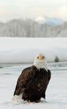 детеныши magpie облыселого орла стоковая фотография rf
