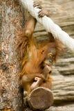 детеныши orangutan Стоковые Изображения
