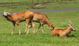 детеныши pere parkland оленей Давида Стоковое Изображение RF