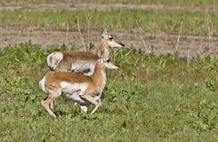 детеныши pronghorn антилопы Стоковое фото RF
